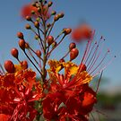 Red Mexican Bird of Paradise by MaryVailMBA