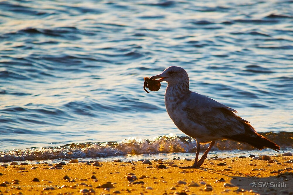 Young Seagull Holding Remainings Of A Crab In Its Beak | Cutchogue, New York by © Sophie W. Smith