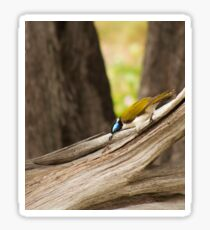Blue Faced Honey Eater (cropped version)  Sticker