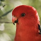 King Parrot at Lake Conjola  by Candy Jubb