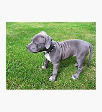 Gorgeous Baby, Blue Pit Bull Puppy Dog With Wrinkles Photographic Print