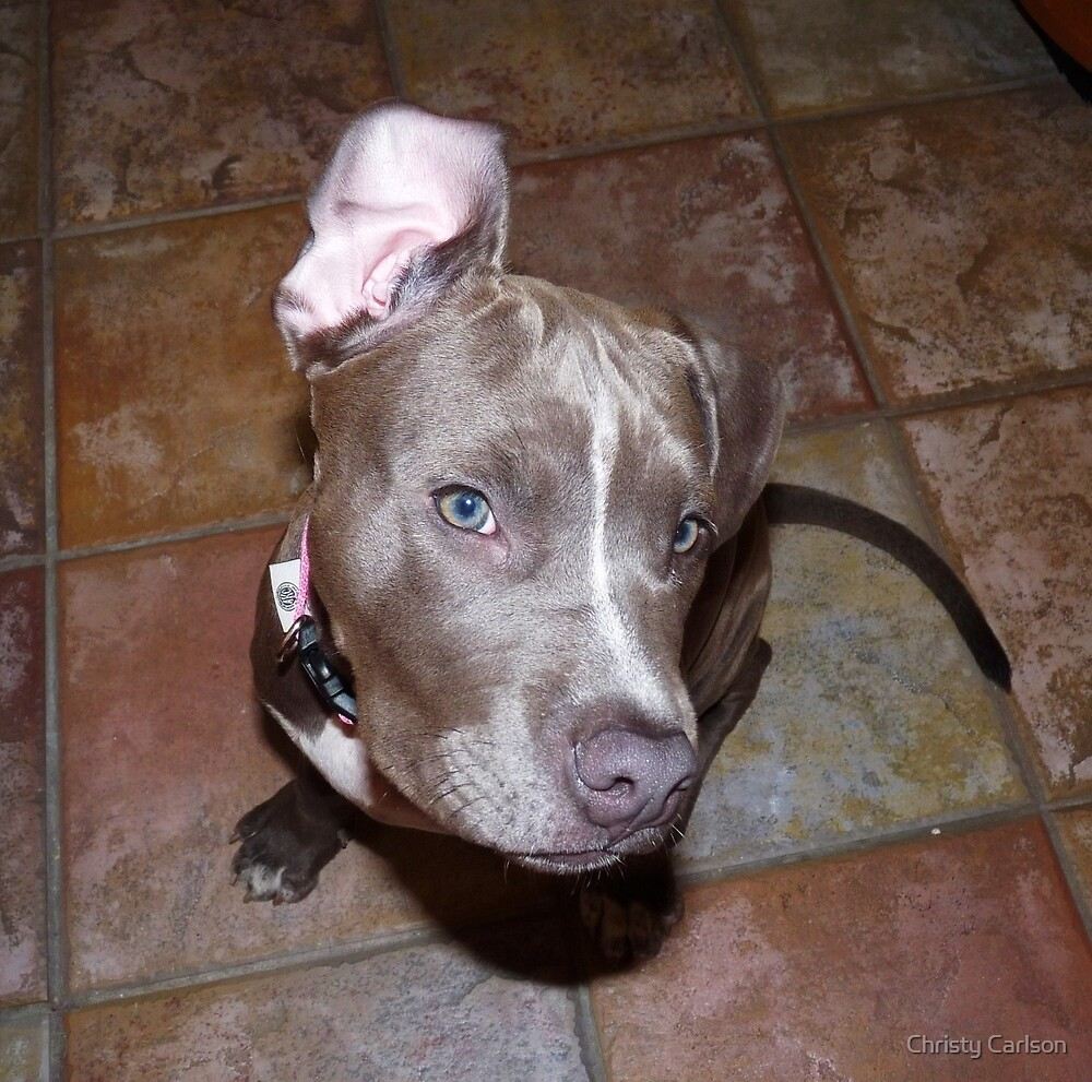 I'm All Ears - Blue Pit Bull by Christy Carlson