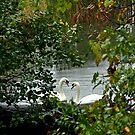 Heart Shaped Love Swans by Jean-Paul Fournier