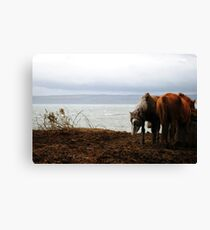 Wild horses in Donegal, Ireland Canvas Print