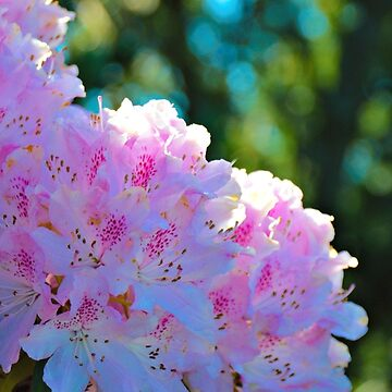 Pink Rhododendron by kchase
