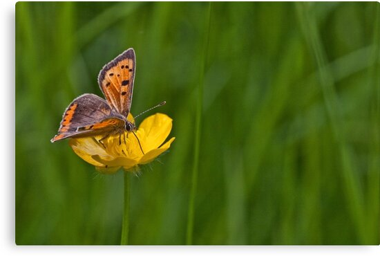 Lycaena phlaeas by John Edwards