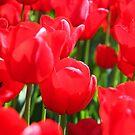 Field Of Red Tulips by Sophia Covington