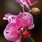 Pink Orchid by Sophia Covington