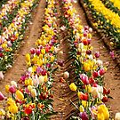 Rows of Tulips by Sophia Covington
