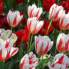 Tulip Patch - Red and White by Sophia Covington