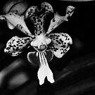 an Orchid called Vanda... by Wieslaw Jan Syposz