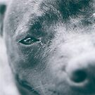 Delta - Staffordshire Bull Terrier by Sophia Covington