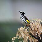 Australian Honeyeater Bird by Sophia Covington