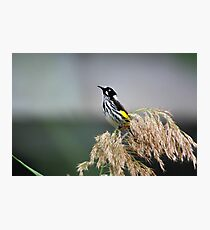 Australian Honeyeater Bird Photographic Print