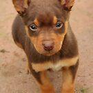 Red Kelpie Puppy by Sophia Covington