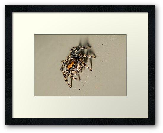 House Jumping Spider - Hypoblemum albovittatum by Normf