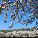 Cherry blossom park in the amsterdamse bos 2 by DutchLumix
