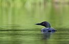 Cool and green and shady - Common loon by Jim Cumming