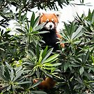 Red Panda by madewithtubo
