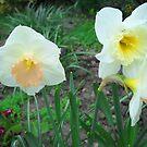 Daffodils by Vitta