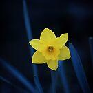 Midnight Daffodil by shane22