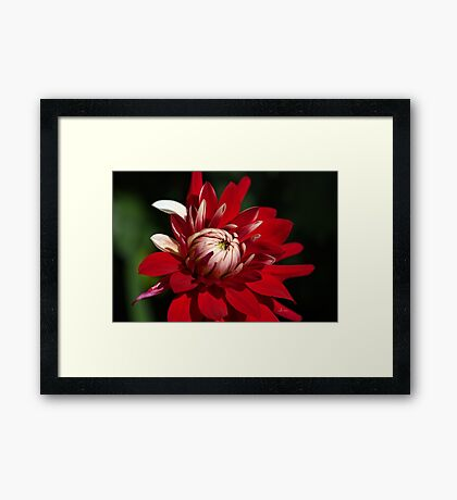 Lush Red Dahlia Framed Print