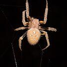 Orb-weaving spider in the Peruvian rainforest by Erik Schlogl