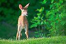 Pretty Fawn (White Tailed Deer) by Yannik Hay