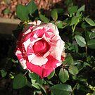 Zweifarbige Schönheit - Hübsche rosa und weiße Miniaturrose von BlueMoonRose