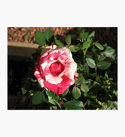 Bi-color Beauty - Pretty Pink and White Miniature Rose Photographic Print