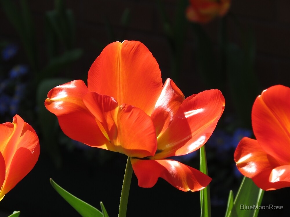 Dazzling Red Tulips by BlueMoonRose
