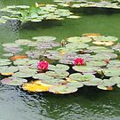 Sweet Pink Water Lilies and Buds von BlueMoonRose