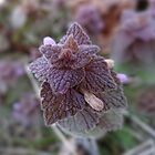 Purple Dead Nettle (Lamium purpureum) by vigor