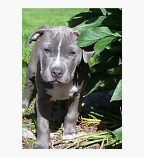 Gorgeous Baby Pit Bull Puppy Dog Photographic Print