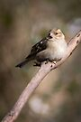 Chaffinch perched on a tree branch by Sara Sadler