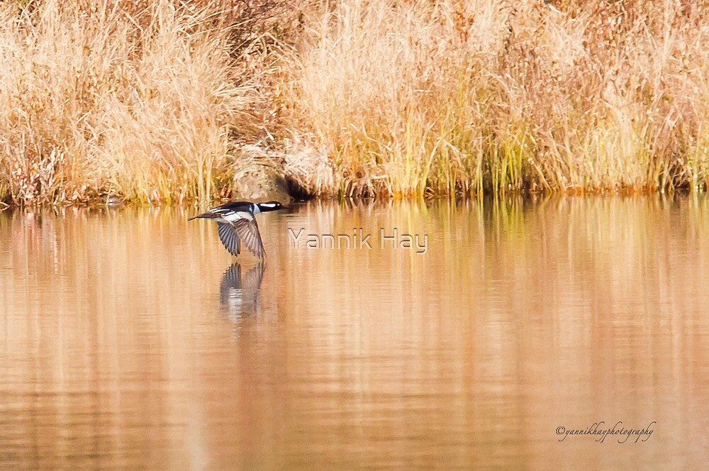 Hooded Merganser Take Off - Harle couronné - Parc National Mont Tremblant  by Yannik Hay