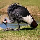 African Crowned Crane Resting by Tony Wilder