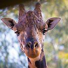 Giraffa camelopardalis by Doug Cliff