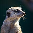 Suricata suricatta by Doug Cliff