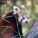Red Panda by Doug Cliff