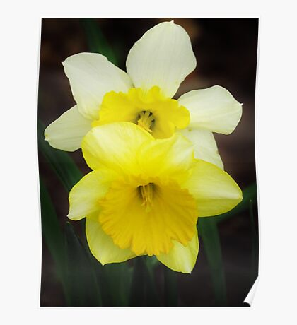 Double Daffies  Poster