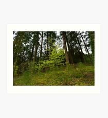 Spring forest scene with small tree and pines Art Print