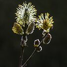 Male Goat Willow by MikeSquires
