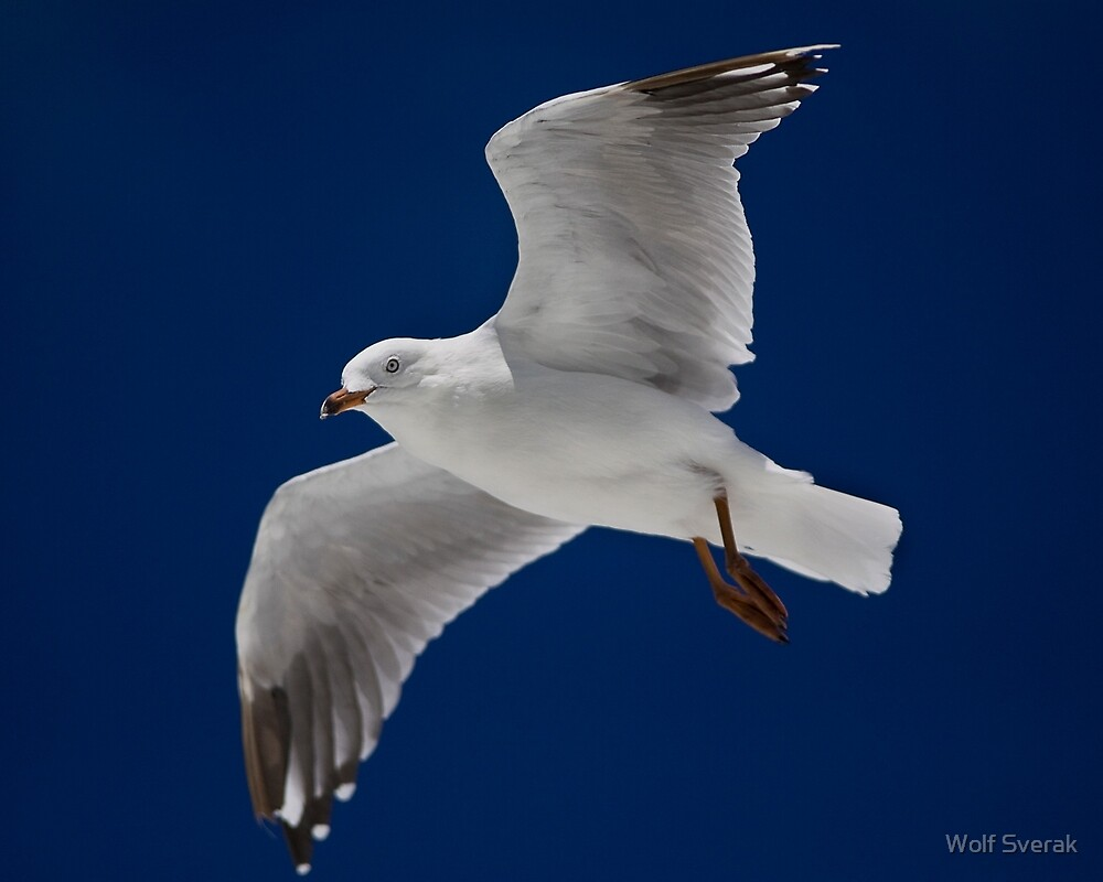 Seagull in flight by Wolf Sverak