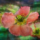 Pink poppies by zzsuzsa