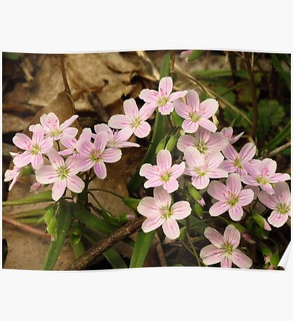 Spring Beauty Wildflowers Poster
