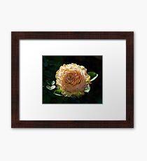 Rose in Bloom | La Rosa Donne d'Italia 150 Framed Print