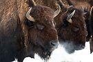 Genesee bison in snow by Eivor Kuchta