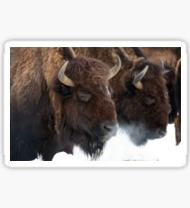 Genesee bison in snow Sticker