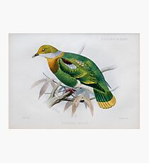 Illustration of Eastern Ornate Fruit-dove  Photographic Print
